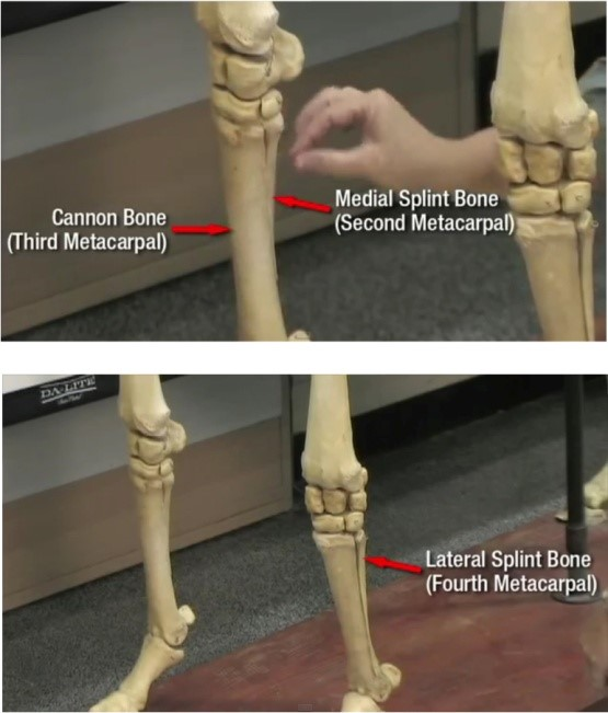 How To Cope With A Horse With A Splint Injury Morgan Murphys