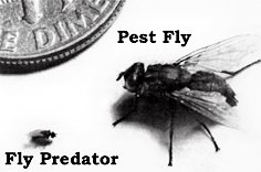 Fly Predators are nature's own enemy of all common manure and rotting organic matter breeding pest flies, including the common house fly, horn fly, biting stable fly and lesser house fly